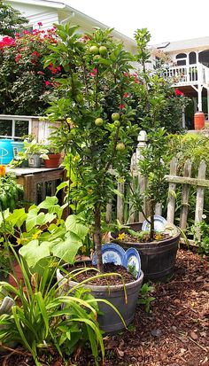 Growing apple trees on containers - columnar apple trees grow up not out. Making them perfect for small space garden areas!