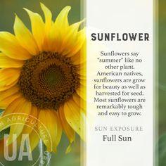Kuvahaun tulos haulle sunflower