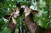 This solitary and strange-looking mammal that resembles a cross between a giraffe and a zebra lives only in the forests of the Democratic Republic of Congo. WCS helped safeguard the species by creating the Okapi Wildlife Reserve in 1992. - Wildlife Conservation Society