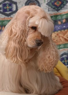 american cocker spaniel dog Love the bangs American Cocker Spaniel, Cocker Spaniel Puppies, Cocker Spaniel Haircut, Cute Puppies, Cute Dogs, Dogs And Puppies, Cavalier King Charles Spaniel, Animals And Pets, Cute Animals