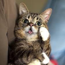 Lil Bub #gatos #cats #animales #animals #lindo #cute