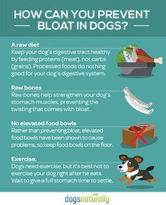 Bloat can be a serious, life-threatening emergency for your dog. But there are important steps you can take at home to prevent bloat from happening . Dog Health Tips, Pet Health, Stomach Muscles, Dog Nutrition, Dog Diet, Dog Facts, Prevent Bloating, Most Beautiful Animals, Dogs