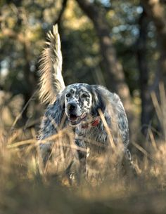 "Click visit site and Check out Cool ""English Setter"" T-shirts. This website is excellent. Tip: You can search ""your name"" or ""your favorite shirts"" at search bar on the top."
