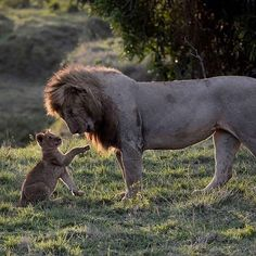 Aww such a charming picture of a magnificent Lion with his cute adorable wee cub..