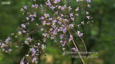 Plants for the shade - Chinese Meadow Rue as featured on BBC Gardeners World 31.07.15