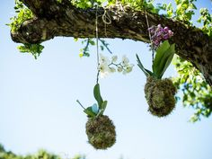 Video: Ripustettava orkidea-asetelma puutarhajuhlien koristeeksi tai sisälle huoneen somistajaksi. Yhteishyvä.
