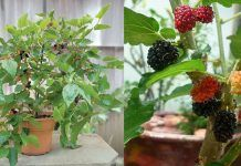 Growing Mulberry in Containers | How to Grow Mulberry Tree in a Pot