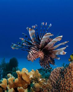 Lionfish....poison in the spikes.....i stepped on one in 1999 in barbados...very painful...lucky for me i got a big needle in my but to fight of the poison.