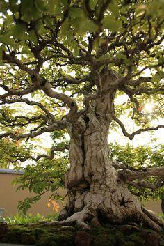 いわしで Iwashide (Korean Hornbeam) - 盆栽美術館 - bonsai museum | Flickr - Photo Sharing!