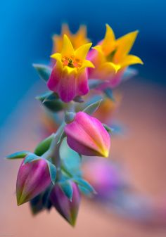 ~~Echeveria feeling so sad by alan shapiro~~ flowers Unusual Flowers, Rare Flowers, Amazing Flowers, Pretty Flowers, Colorful Flowers, Rainbow Flowers, Photos Of Flowers, Rainbow Succulent, Beautiful Flowers Pictures