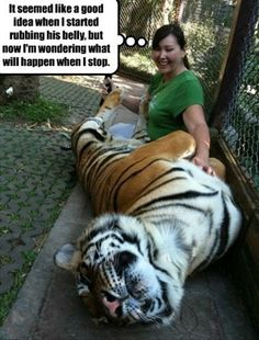 funny-tiger-rubbing-belly-stopping