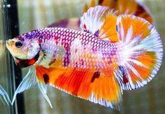 Beautiful Types of Betta Fish with Amazing Pictures Saltwater Aquarium, Aquarium Fish Tank, Freshwater Aquarium, Betta Fish Types, Betta Fish Care, Koi Fish Pond, Fish Ponds, Colorful Fish, Tropical Fish