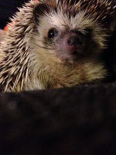 Hedgehog: Reggie the hedgie