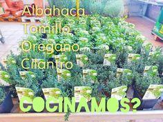 Cilantro, Plants, Garden Centre, Basil, Plant, Planets