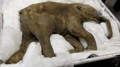 Lyuba, the world's best preserved baby mammoth has gone on display in Hong Kong, on loan from the Shemanovsky Museum in Russia. She was found in Siberia in 2007.    Amazing!