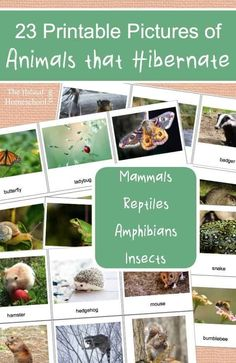 Here, you will find free printable pictures of animals that hibernate in winter! There are 23 beautiful cards! Here, you will find free printable pictures of animals that hibernate in winter! There are 23 beautiful cards! Montessori Activities, Science Activities, Montessori Homeschool, Science Fun, Homeschooling Resources, Montessori Toddler, Montessori Materials, Preschool Science, Curriculum