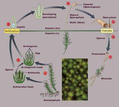 bryophyte-life-cycle-stages