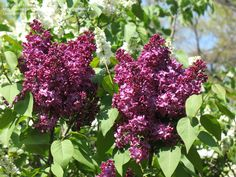 PlantFiles Pictures: Syringa, Common Lilac, French Lilac 'Monge' (Syringa vulgaris) by PinetopPlanter Syringa Vulgaris, French Lilac, Famous Daves, Deep Purple, Planting Flowers, Succulents, Beautiful Pictures, Seeds