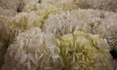 #Hydrangea #PrettyIvory; Available at www.barendsen.nl