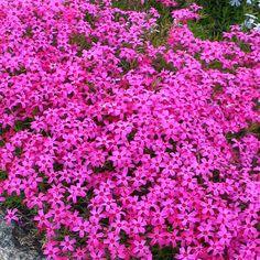 Sammalleimu Scarlet Flame - Viherpeukalot Pink Perennials, My Secret Garden, Fall Season, Scarlet, Garden Plants, Different Colors, Beautiful Flowers, Projects To Try, Seasons