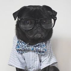 On the blog today I am sharing how owning a pug has changed my life. Have a read at www.thepugdiary.com and tell me how has owning a pug changed your life?  #thepugdiary