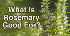 Discover the health benefits of rosemary and how it can help protect you against diabetes, cancer, neurological problems and other diseases. http://articles.mercola.com/sites/articles/archive/2016/06/06/benefits-of-rosemary.aspx