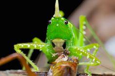 Predaceous conocephaline katydid with prey (6)   Flickr - Photo Sharing!