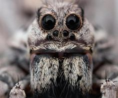 Image detail for -Amazing Tarantula spider – Giant Tarantula Facts, Photos, Information …* – OMG – WTF Scared Of Spiders, Spiders And Snakes, Spider Face, Wolf Spider, Tarantula Habitat, Spider Killer, Cool Bugs, Jumping Spider, Nature