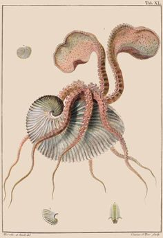 Paper Nautilus Italian naturalist Giuseppe Saverio Poli (1746–1825) is considered to be the father of malacology—the study of mollusks.