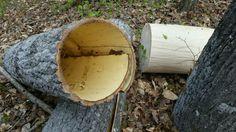 Bark+Walls+-+Harvesting+Poplar+Bark