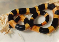 """Halloween"" Pueblan milk snake Spiders And Snakes, Cool Snakes, Milk Snake, Ball Python Morphs, Cute Snake, Snake Venom, Beautiful Snakes, Frog And Toad, Vertebrates"