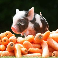 """""""On Top of a Mountain of Baby Carrots"""" The 20 Pictures Of Miniature Pigs You Need To See Before You Die Tiny Pigs, Small Pigs, Baby Animals, Cute Animals, Cute Piglets, Baby Piglets, Miniature Pigs, Pot Belly Pigs, Teacup Pigs"""