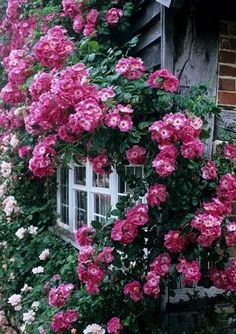 Old fashion, fragrant roses climb about the windows and make the cottage heavy with floral scent in the summer. We make simple syrup, tea and rose butter with the petals.