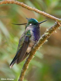 Plovercrest  Stephanoxis lalandi loddigesii  Intervales State Park, São Paulo state, Brazil.
