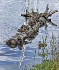 Raft Of Ducks by Cathy Anderson - Raft Of Ducks Photograph - Raft Of Ducks Fine Art Prints and Posters for Sale