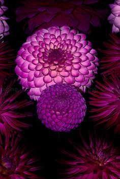 Dahlia, with the circular pedals. These are my favourite flowers! Amazing Flowers, Colorful Flowers, Beautiful Flowers, Exotic Flowers, Purple Dahlia, Purple Flowers, Dahlia Flowers, Magenta, Purple Mums