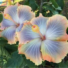 hibiscus flower buds falling off Tropical Flowers, Hawaiian Flowers, Hibiscus Flowers, Exotic Flowers, Beautiful Flowers, Purple Flowers, Tropical Landscaping, Tropical Garden, Horticulture