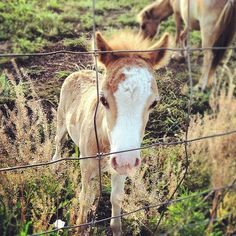 Baby horses are called foals. Males are called colts and females are called fillies. Cute Creatures, Beautiful Creatures, Cute Baby Animals, Farm Animals, Beautiful Horses, Animals Beautiful, Especie Animal, Baby Horses, Mini Horses