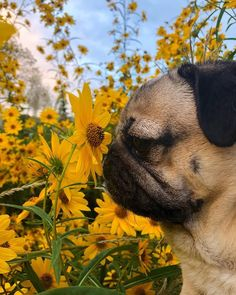 """Acquire great ideas on """"pug dogs"""". They are actually available for you on our internet site. Baby Animals Super Cute, Cute Little Animals, Pug Wallpaper, Doug The Pug, Baby Pugs, Cute Dogs And Puppies, Puggle Puppies, Doggies, Pug Love"""