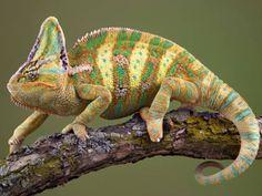 Veiled Chameleon (Chamaeleo calyptratus)