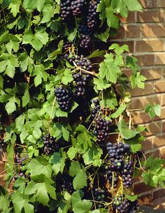 A sweet dark-purple grape that is very hardy and productive. Suitable as a table grape but is also perfect for home made jelly and juice. Ripens early and is hardy to Zone As they are live plants we will hold fruit a Clematis Vine, Gardening Zones, Growing Grapes, Ornamental Grasses, Edible Garden, Trees And Shrubs, Live Plants, Aquaponics, Fruit Trees