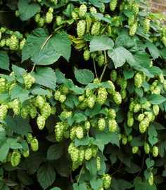 Best known as a key beer ingredient, the hop vine brings good taste to a garden, too.