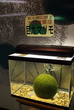 Marimo ball! WANT - by invisiblecompany, via Flickr