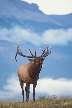 Rocky Mountain Elk bugling