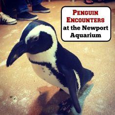 Penguin Encounters at the Newport Aquarium in Newport, Kentucky - Pinned by Adventure Mom