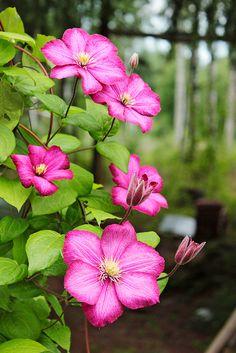 Pienikukkainen kärhö kukkii koko kesän. Kuva: Riikka Heiskanen