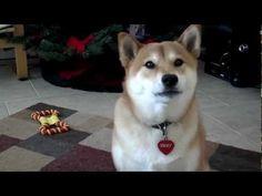 Yuki The Shiba Says Hello