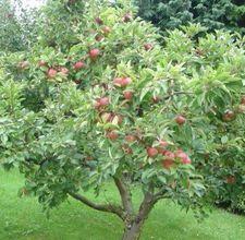 How To Prune Apple Trees | Diy Garden | Pinterest | Apple Tree, Apples And  Gardens