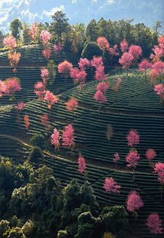 Flowers in bloom in Nanjian Yi  in south-west China's Yunnan province. Qin Qing