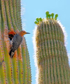 Gila Woodpecker on a Saguaro Cactus Photo by Harry Taylor -- National Geographic Your Shot Desert Flowers, Desert Cactus, Desert Plants, Desert Animals, Arizona Road Trip, Desert Art, Fauna, Cacti And Succulents, Wild Birds